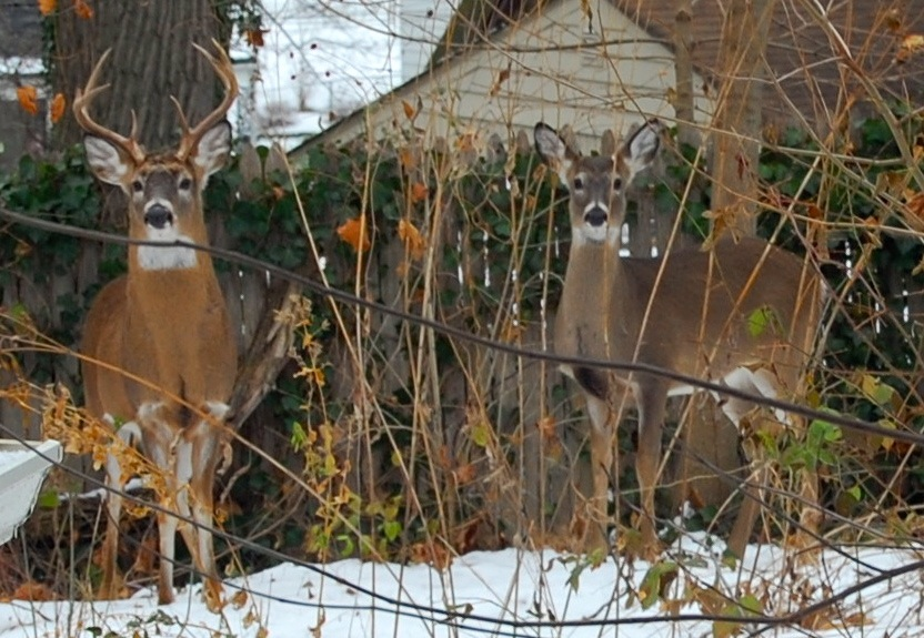 http://zhurnaly.com/images/Backyard_Deer_1.jpg