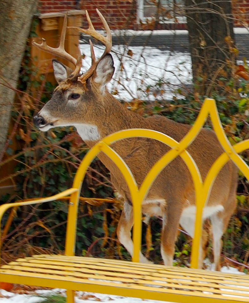 http://zhurnaly.com/images/Backyard_Deer_2.jpg