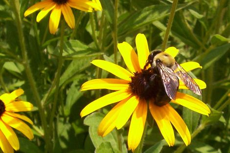 Black_Eyed_Susan_Bee