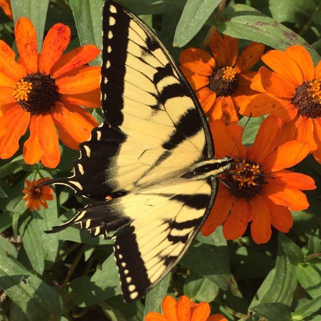 http://zhurnaly.com/images/Mormon_Temple_garden_butterfly.jpg