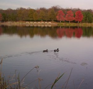 Ducks on Lake Artemesia