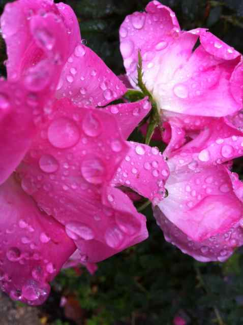 http://zhurnaly.com/images/Roses_after_the_Rain.jpg