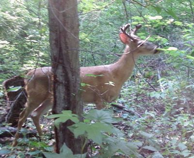 Sligo_Creek_Park_Buck
