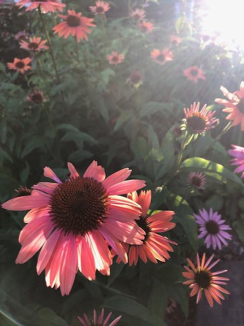 http://zhurnaly.com/images/arty/echinacea_sunrise_2020-06-24.jpg