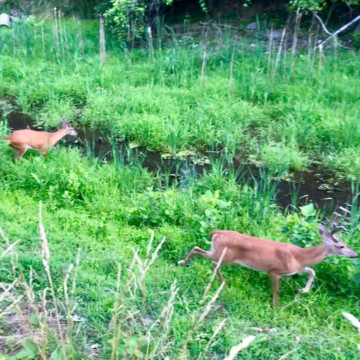 http://zhurnaly.com/images/run/C_and_O_Canal_deer_2019-05-17_t.jpg