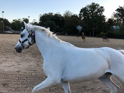 joyous white horse at Meadowbrook Stables