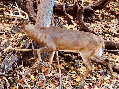 http://zhurnaly.com/images/run/Potomac_Heritage_50k_DC_deer_2019-11-03.jpg