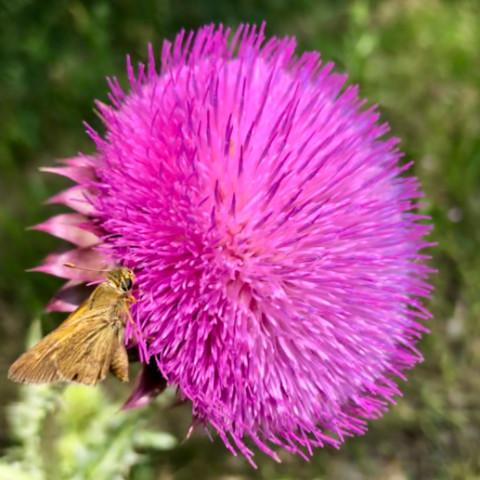 RIwJ mile 23 sachem butterfly milk thistle