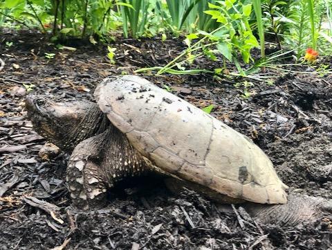 http://zhurnaly.com/images/run/Snapping-Turtle_muddy-garden_2020-06-11.jpg