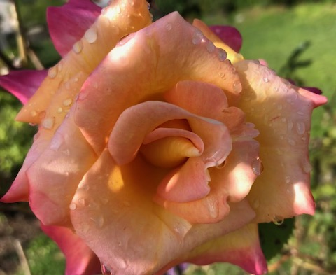 http://zhurnaly.com/images/run/orange-yellow-roses_2020-05-22.jpg