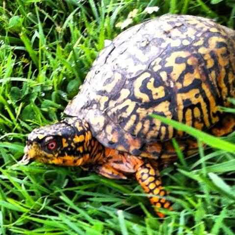 http://zhurnaly.com/images/running/Box_Turtle_Ken-Gar.jpg