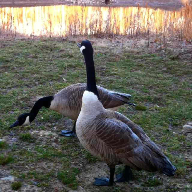 http://zhurnaly.com/images/running/Geese_in_Wheaton.jpg