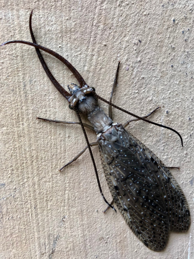 Dobsonfly at Great Falls on the C&O Canal