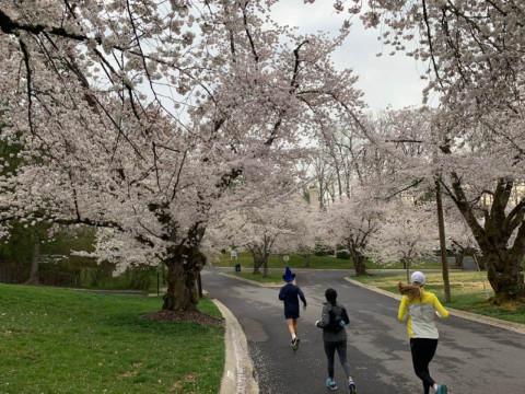 Kenwood Cherry Blossom runners