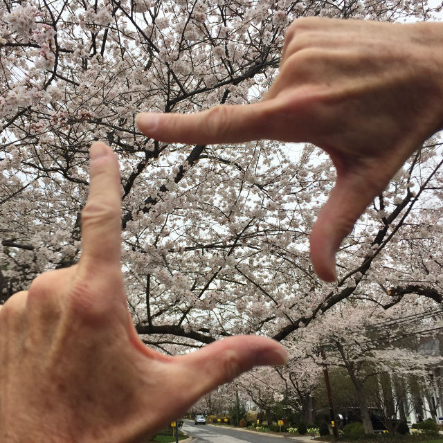 http://zhurnaly.com/images/running/Kenwood_cherry_blossoms_2017-03-26i_t.jpg