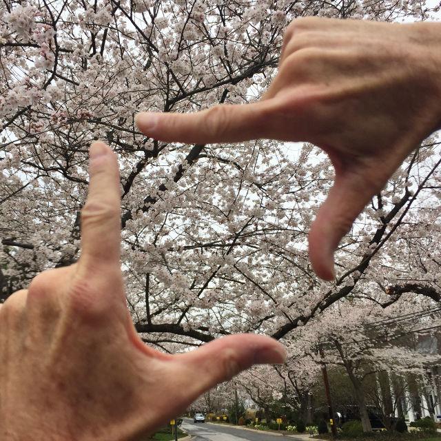 http://zhurnaly.com/images/running/Kenwood_cherry_blossoms_2017-03-26i_t.jpg