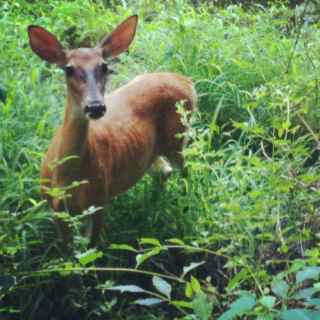 http://zhurnaly.com/images/running/Rock_Creek_Trail_scrawny_deer.jpg