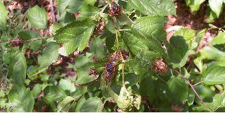 http://zhurnaly.com/images/zhurnalnet_z_images/dz2004/dz2004x_cicadas.jpg